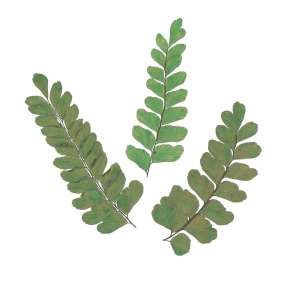 Craft Asian Royal Fern 20pcs for Floral Art Silver J Pressed Leaves Card Making Scrapbooking